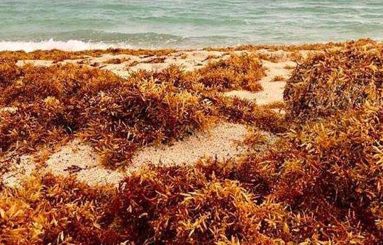 墨西哥大学生研发出清理海藻的环保电动车
